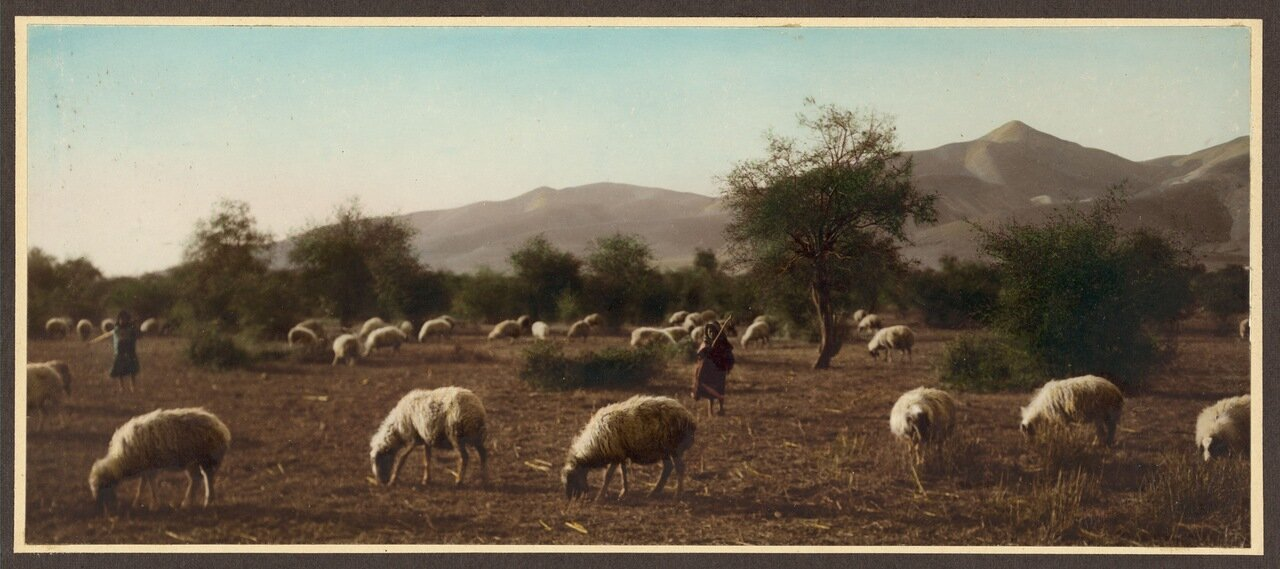 Овцы пасутся в долине реки Иордан