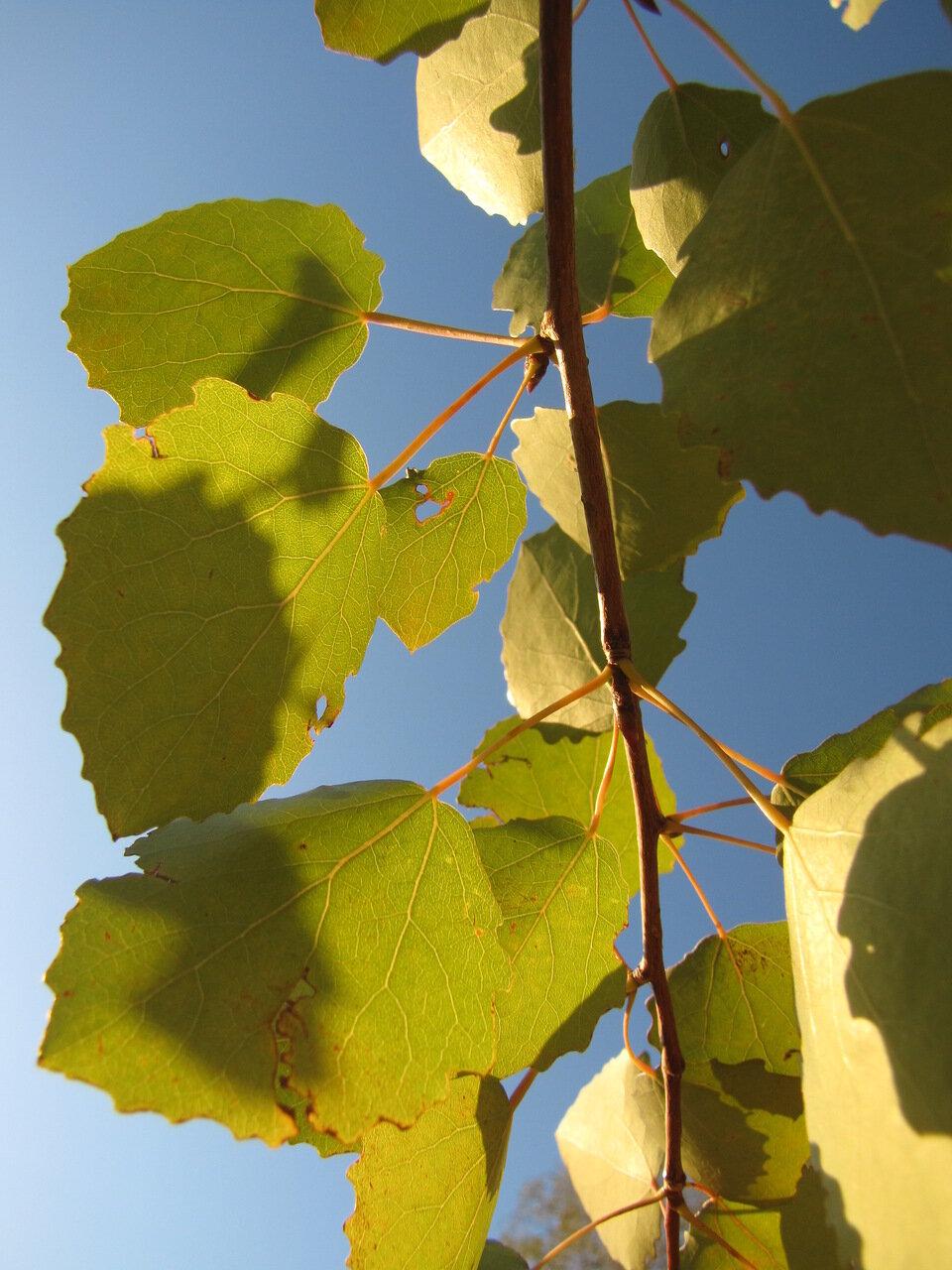 Осина обыкновенная (Populus tremula). Автор фото:Привалова Марина