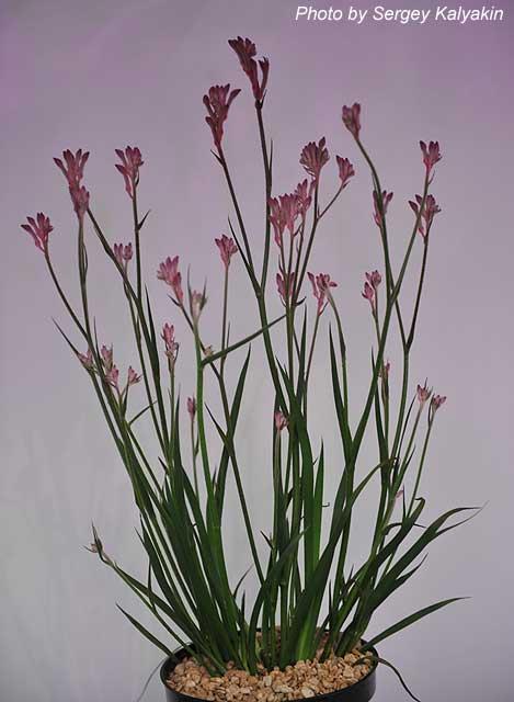 Anigozanthus Pink Pearl (2).JPG