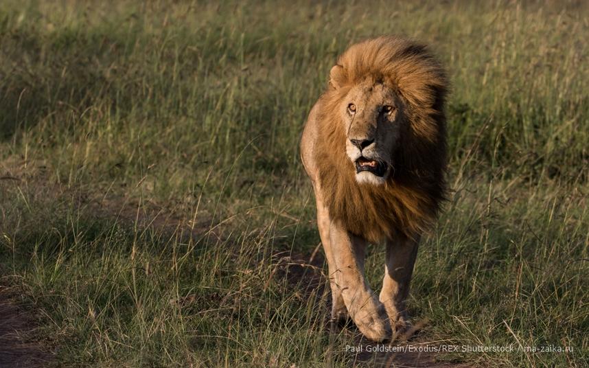 День льва