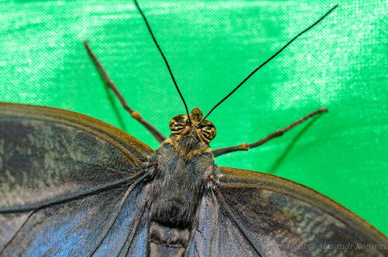 Калиго эврилокус - крылья