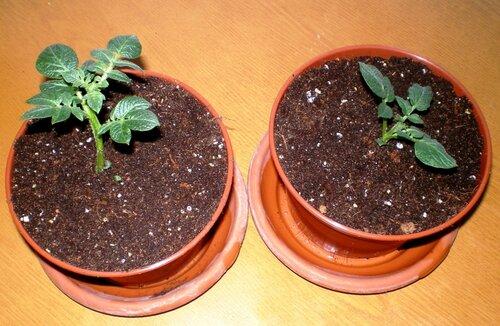 Картофель из белых ростков Итоги