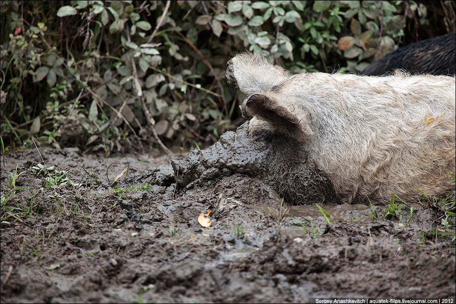 Дикие свиньи на Демерджи