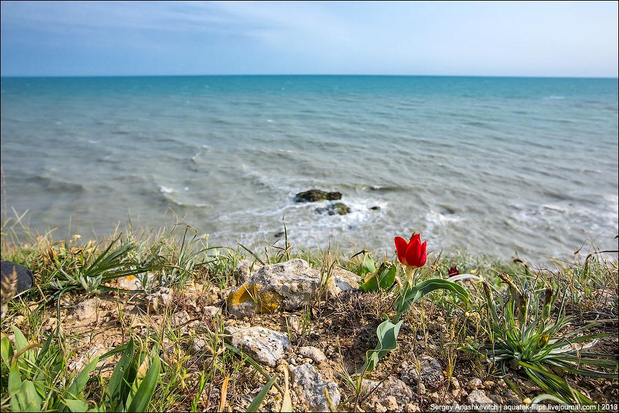 Цветение диких тюльпанов в Крыму