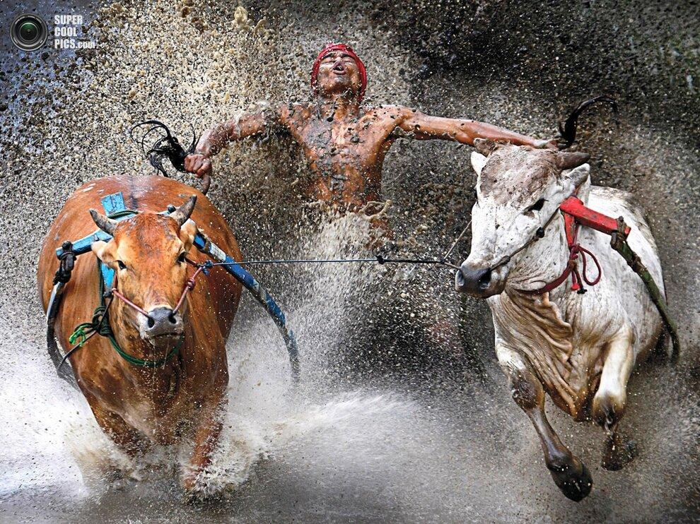 Жокей выказывает облегчение и удовольствие после опасного отрезка во время скачек на буйволах по рисовым полям в Батусанкаре, провинция Западная Суматра, Индонезия.