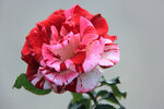 Роза C&K Jones чайно-гибридная Рок-н-Ролл Rose Rock 'n' Roll (WEKgobnez, MACfirwal, Stretch Johnson, Tango) Samuel Darragh McGredy IV 1988
