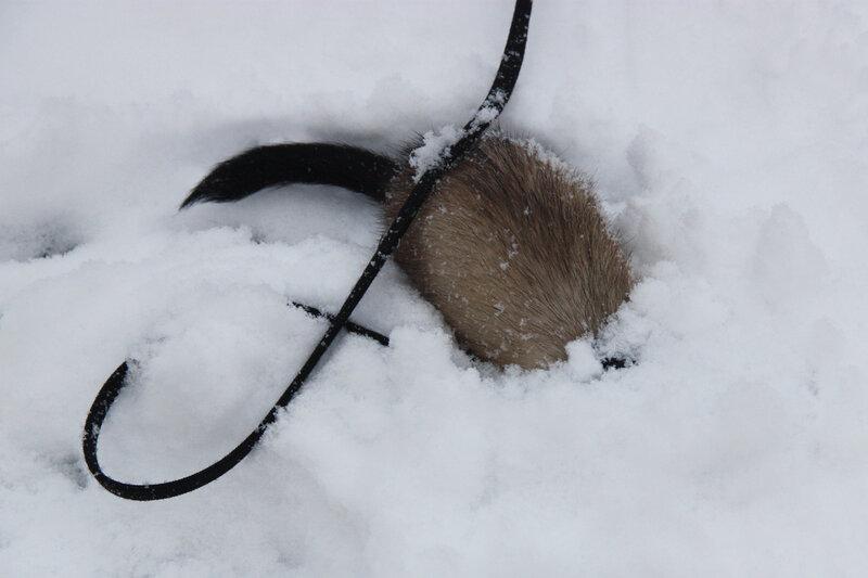 хорьки,  зимние прогулки с хорьками