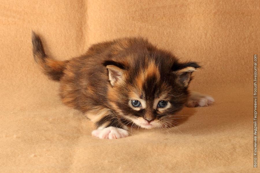 трехнедельные котята мейн кун
