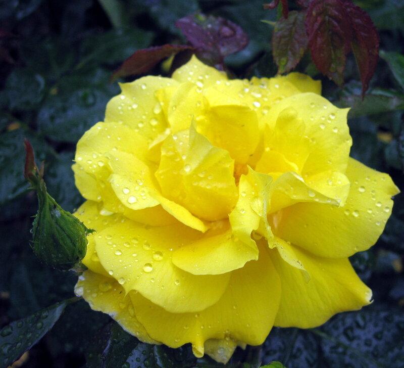 Портрет желтой розы