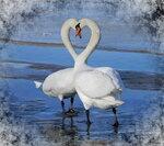 нет любви нежнее и вернее,чем у диких белых лебедей