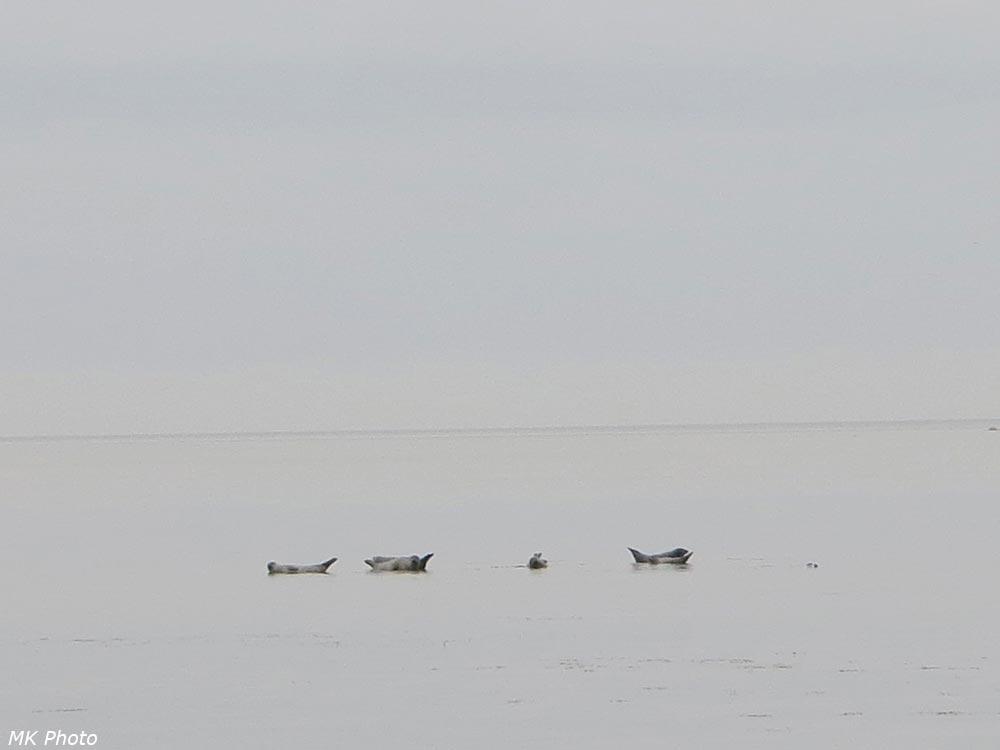 Тюлени на подводных камнях