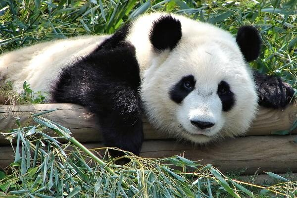 Неумолимый позитивчик в фотографиях панды + забавный ролик про панд