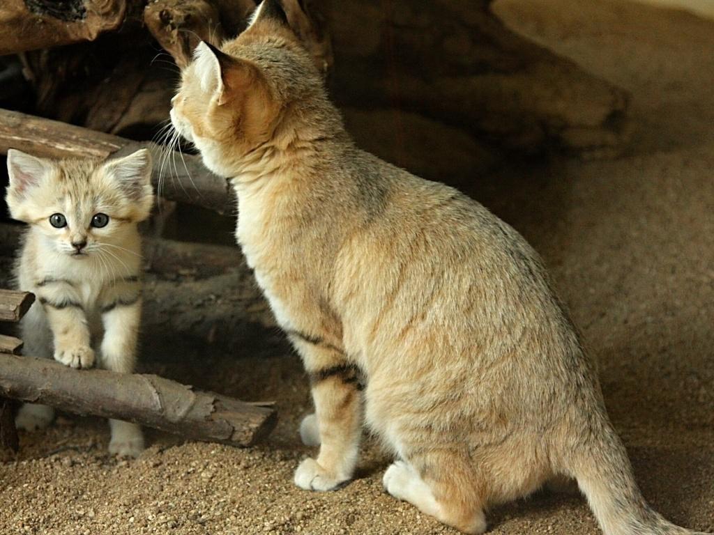 Барханная кошка, песчаный кот