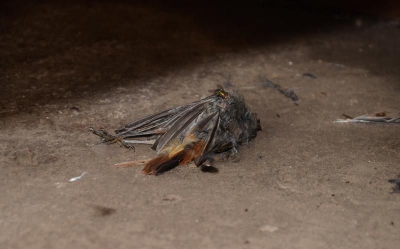 дохлая птица