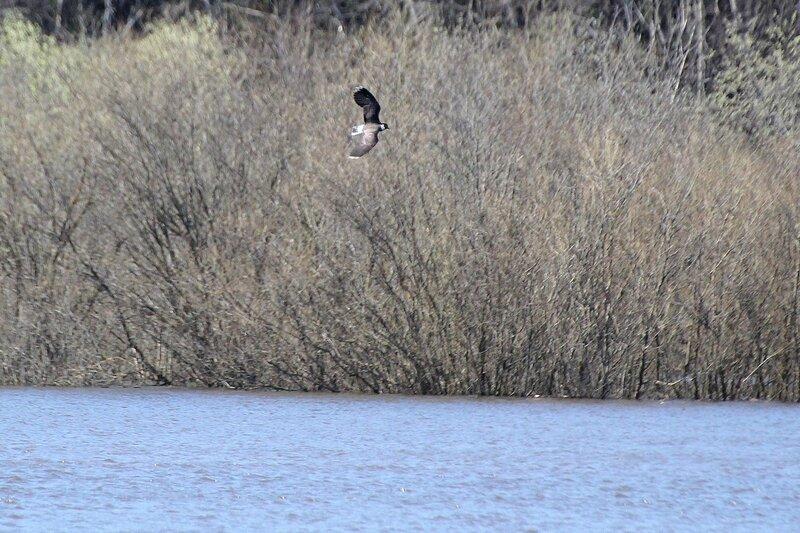 Чибис (Vanellus vanellus) летит на фоне кустов