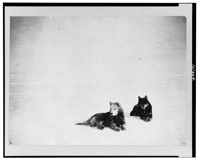 Amundsen's favorite dogs, Fix and Lassesin/ c1912.