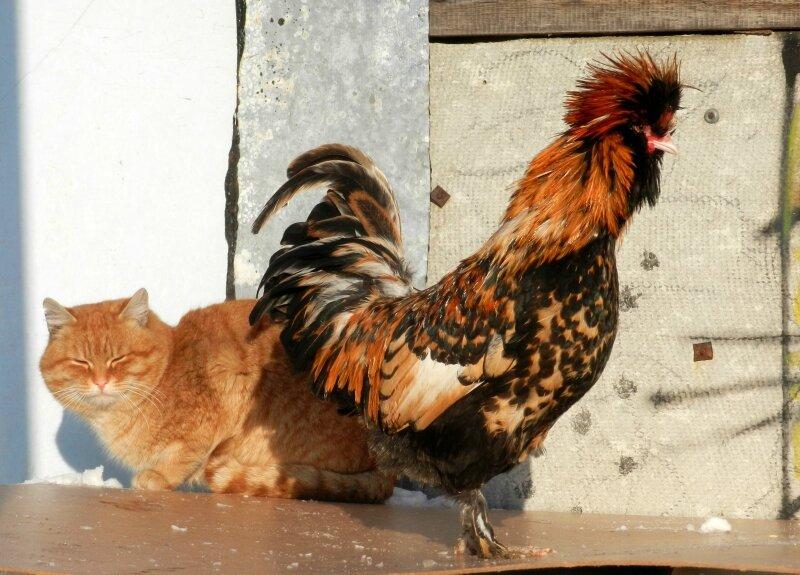 Кот и Петух