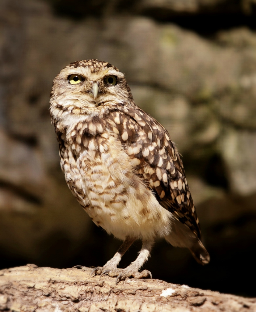 Совы/Owl