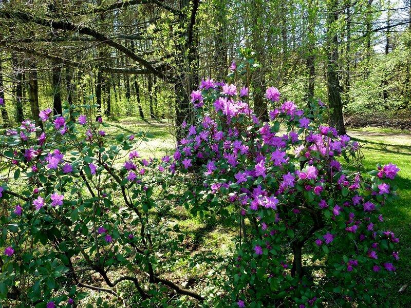 Цветёт багульник