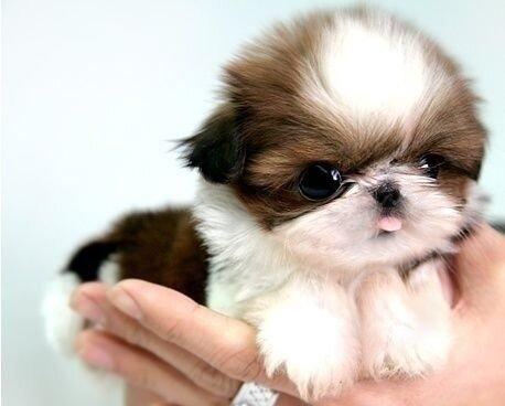 Милый щенок ши-тцу в забавном видео