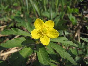 s:травянистые,i:многолетние,лепестков 5,c:желтые,s:эфемероиды,i:ядовитые,околоцветник актиноморфный,d:на опушках и полянах,f:орешек