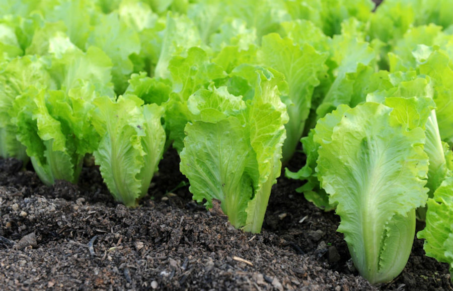 Салат-латук - анти-афродизиак Некоторые продукты можно назвать анти-афродизиаками. В Древней Греции