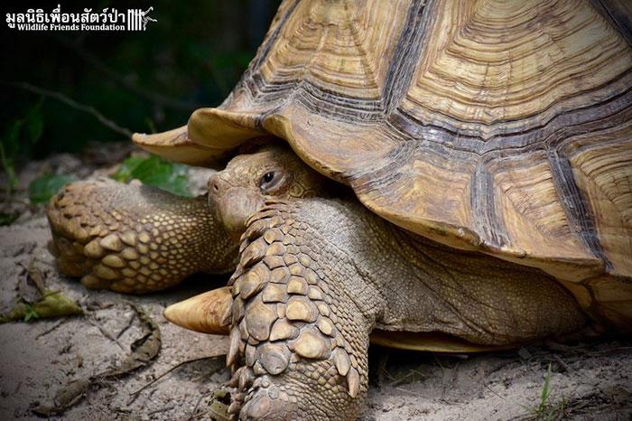 Леонардо, африканская шпороносная черепаха, был спасен из зоопарка Бангкока.