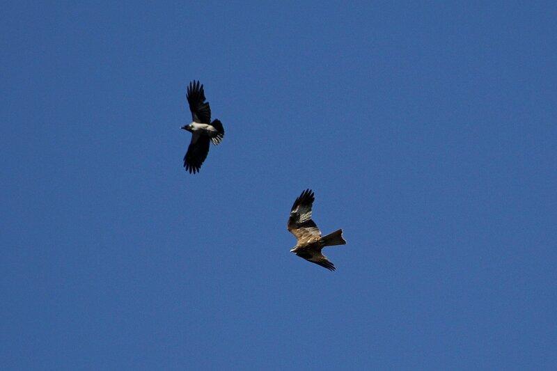 Коршун и ворона играют в догонялки в воздухе