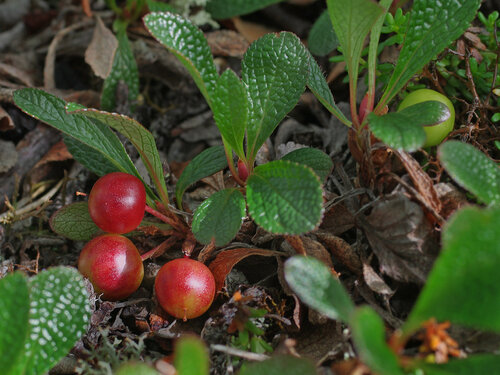 Арктоус альпийский - Arctous alpina. Эти ягоды считаются несъедобными, некоторые пишут, что они даже ядовиты из-за большого количества фенолов. Зацветает арктоус одним из первых, а к нашему приезду ягоды уже начали краснеть. Зрелые ягоды почти черные. Арктоус растет и на Соловецком острове и на Кузовах. Оба снимка там и сделаны. Автор фото: Юрий Семенов