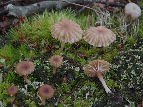 Лихеномфалия зонтичная (Lichenomphalia umbellifera). Судя по современному названию, гриб состоит в симбиозе с водорослями. Раньше этот гриб назывался Омфалина зонтичная или Омфалина пустошная. Мелкий, красивый, но несъедобный грибок, растущий во влажных местах рядом со мхами и лишайниками. На Соловках встречается довольно часто. Фото сделано на Филипповских садках. Автор фото: Юрий Семенов