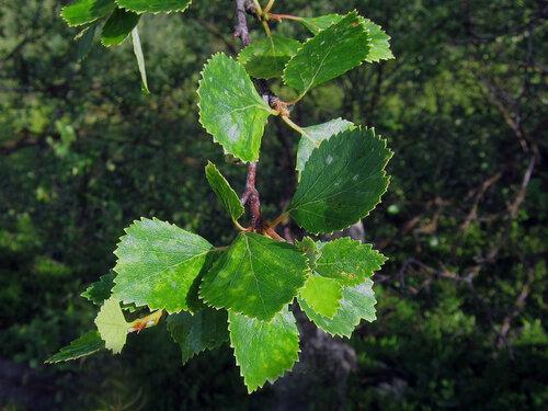 Береза низкая - Betula humilis. Листья ее округло вытянутые с острыми зазубринами, чем отличаются от березы карликовой. Фото сделано на Большом Заяцком острове, где такая береза образует кустарниковые «леса». Автор фото: Юрий Семенов