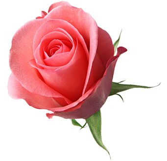 【转载】【免抠PNG素材篇】玫瑰1 - 自我陶醉 - 蓝孔雀