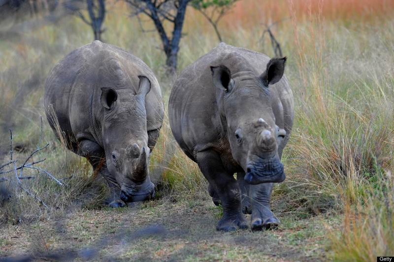 Африканские носороги. Чёрные и белые. Наше расследование