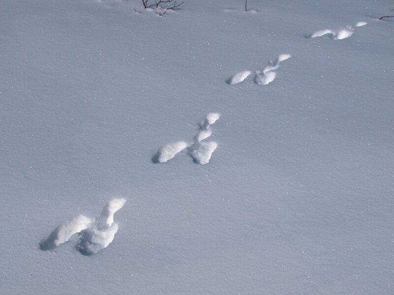 Цепочка заячьих следов на снегу Заречного парка