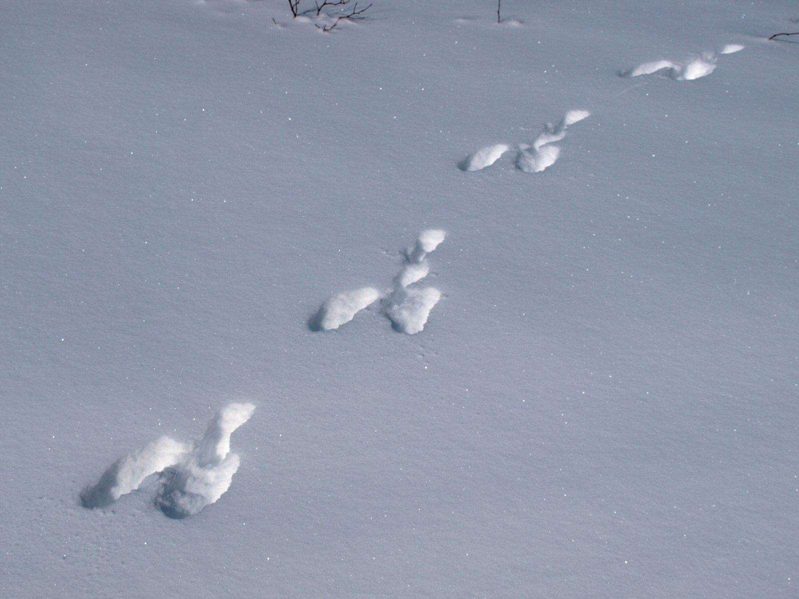 фото сліди зайця