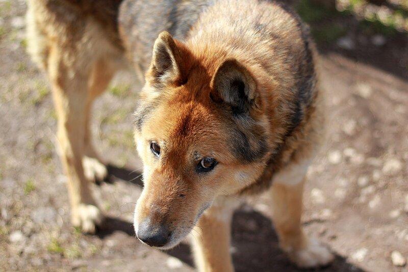 Приблудная собака