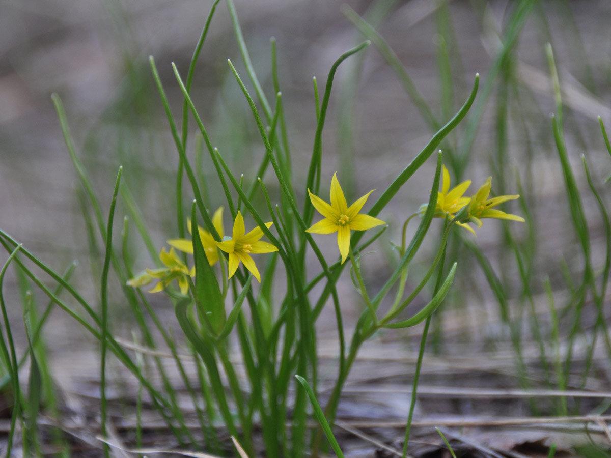 Гусиный лук маленький (Gagea minima). Автор фото: Владимир Брюхов