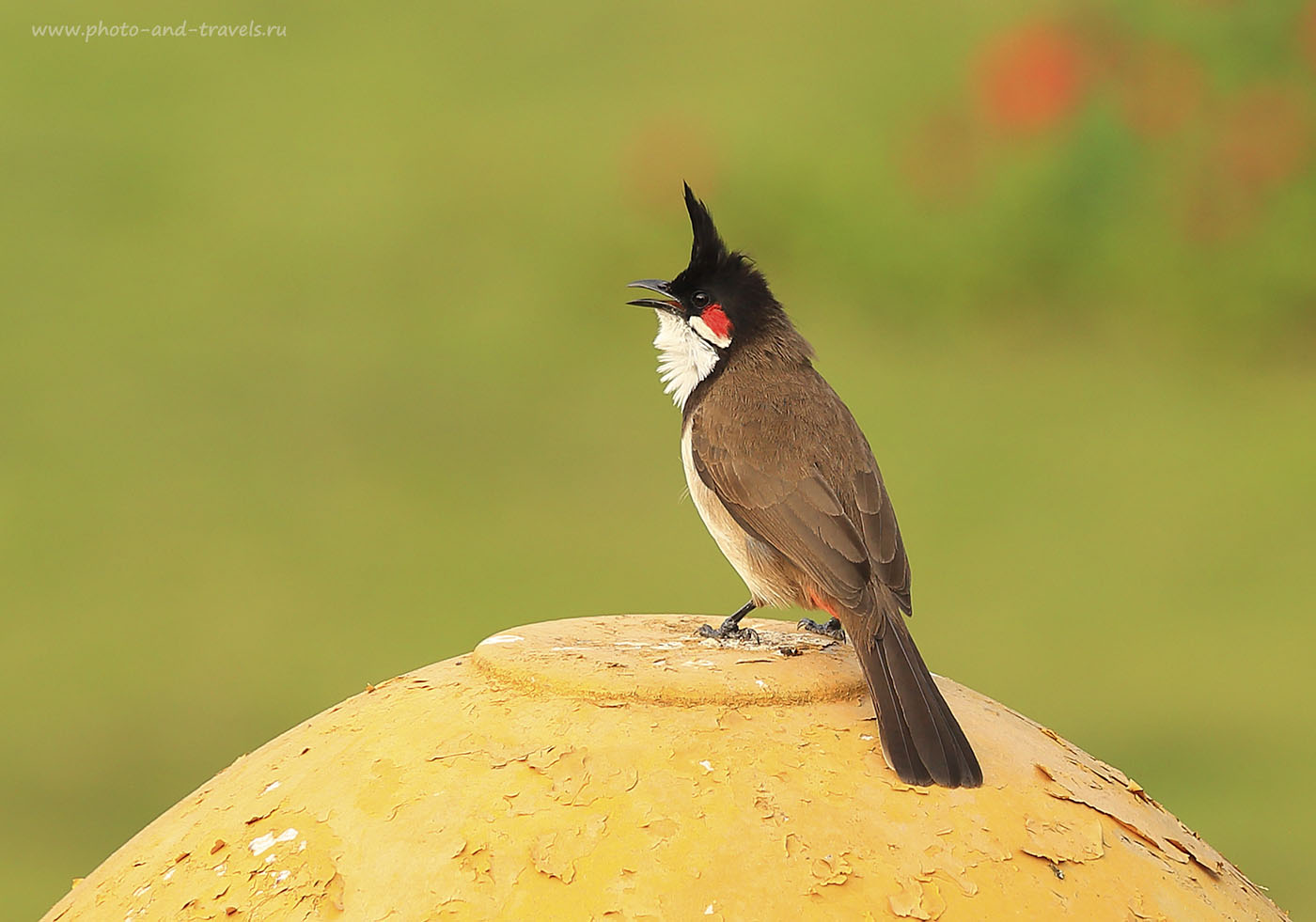 Фото № 18. Фотоохота в Индии. Птичка Бюль-Бюль. Отзывы туристов о путешествии по Карнатаке. Настройки фотоаппарата при съемке: 1/500, 6.3, 250, 200. Камера Canon EOS 6D. Телеобъектив Canon EF 70-200mm f/4L IS.