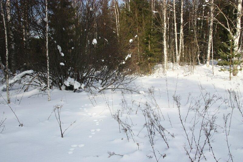 зимний лес, следы, снег, зайцы