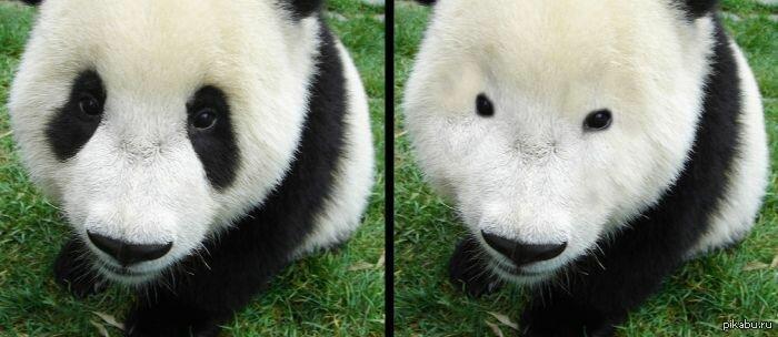 """Панда без """"синяков"""" вокруг глаз"""