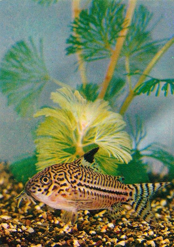 Леопардовый сомик Corydoras julii (Steindachner)