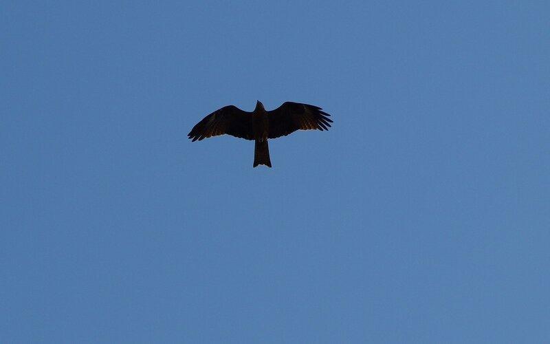 Чёрный коршун (Milvus migrans) P5172938.jpg