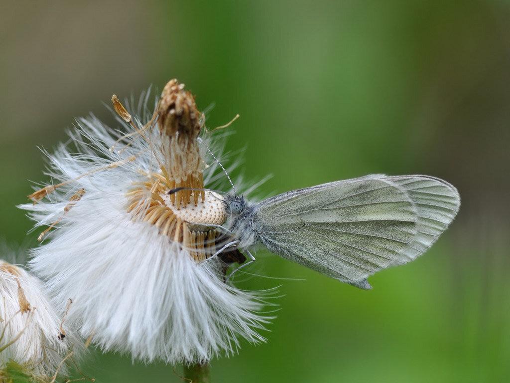 Беляночка горошковая (Leptidea sinapis) Автор фото: Владимир Брюхов