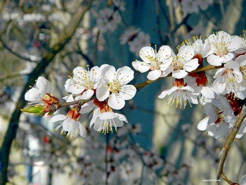 Зацвели абрикосы в апреле