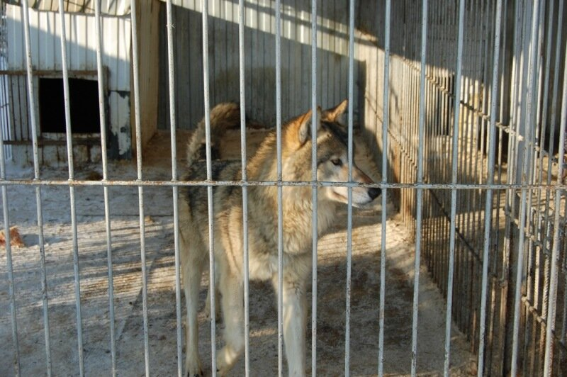 Зоопарк тайга Сургут амурский тигр сеерные олени