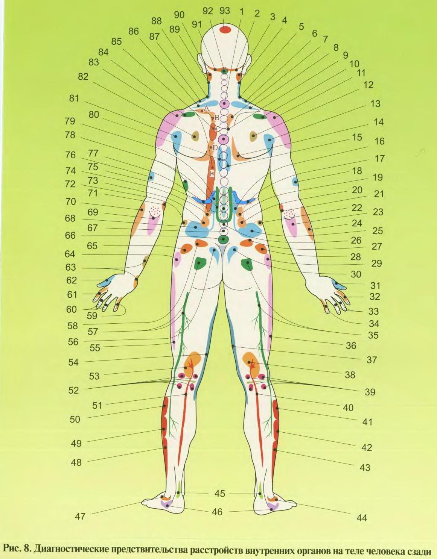 Внутренние органы человека схема расположения у женщин фото со спины