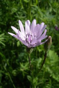 Козелец пурпурный (Scorzonera purpurea)