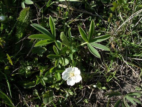 Лапчатка белая (Potentilla alba) Автор: Привалова Марина