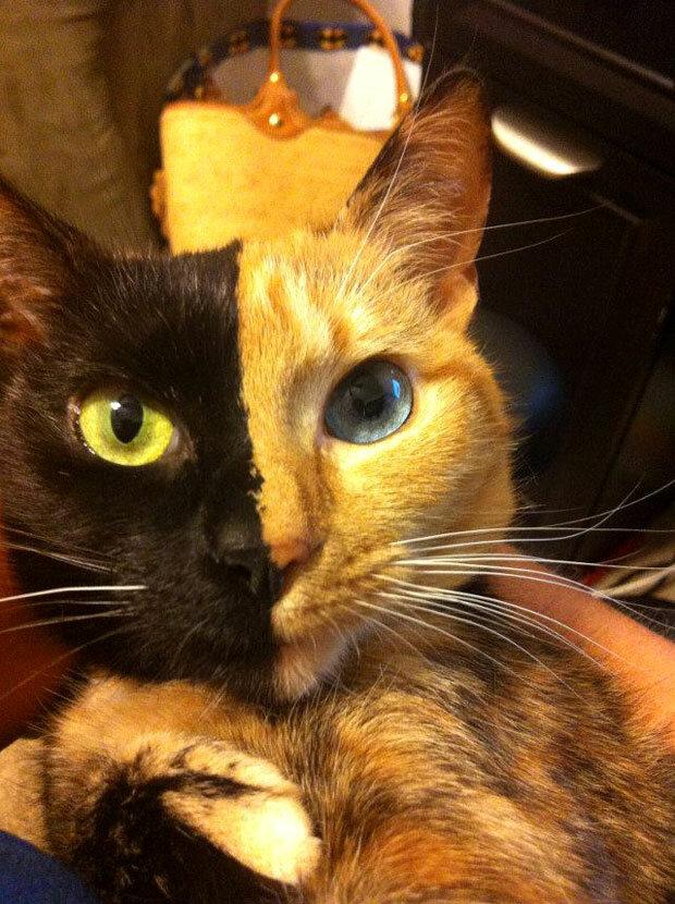 Необычная двуликая кошка-химера