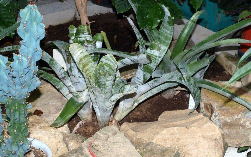Эхмея(Aechmea) растение-урна